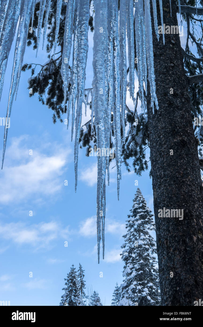 Wall of icicles in snow laden conifer forest. - Stock Image