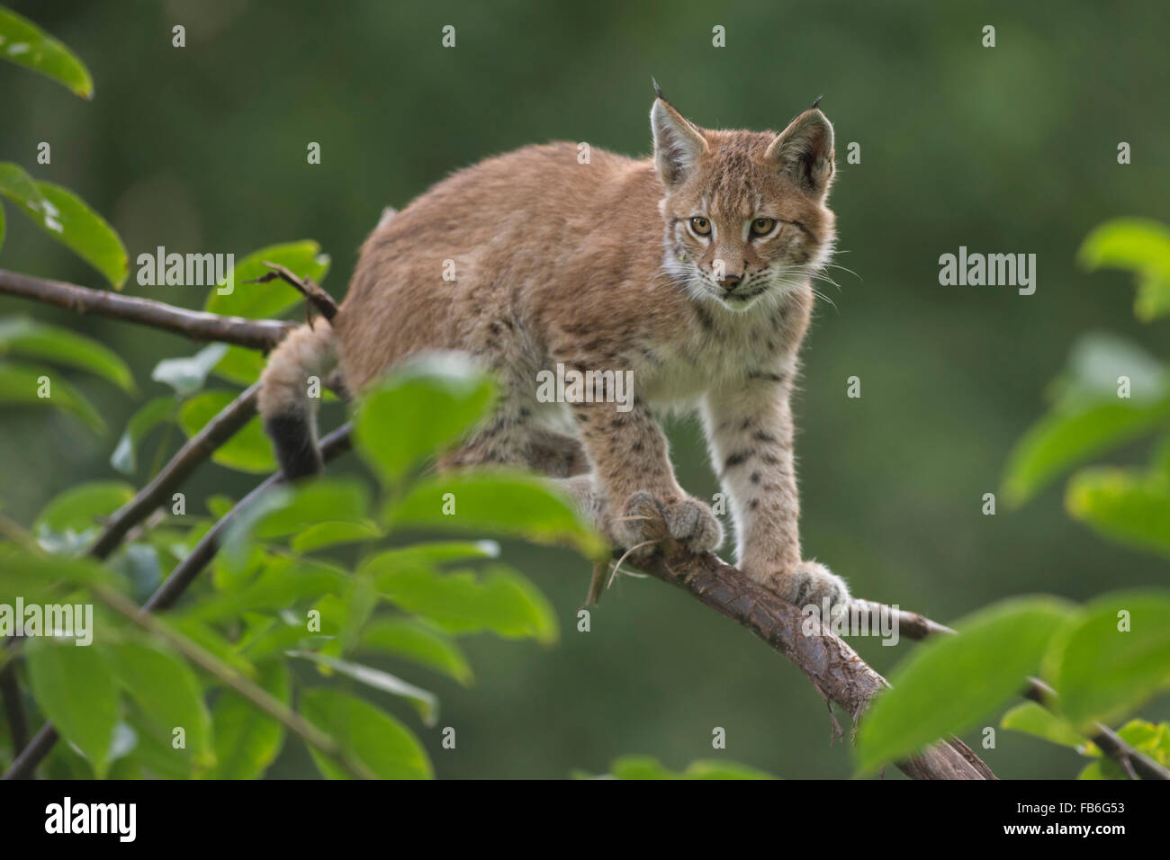 Cute cub of Eurasian Lynx / Eurasischer Luchs ( Lynx lynx ) sits on a thin branch, looks concentrated. - Stock Image