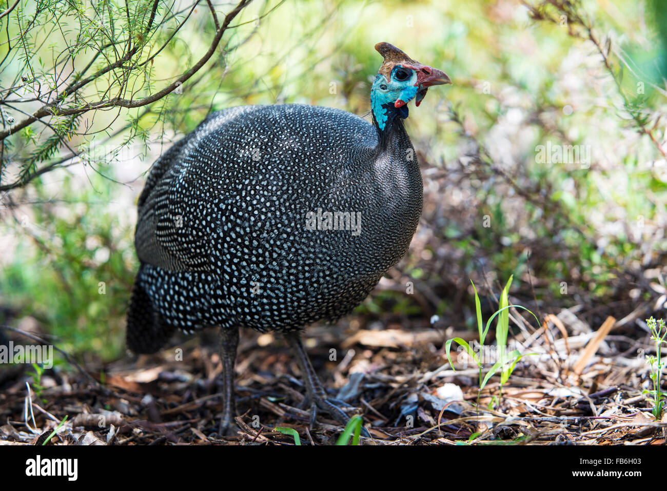 An African helmeted guinea fowl in Kirstenbosch Botanical Gardens, Cape Town - Stock Image