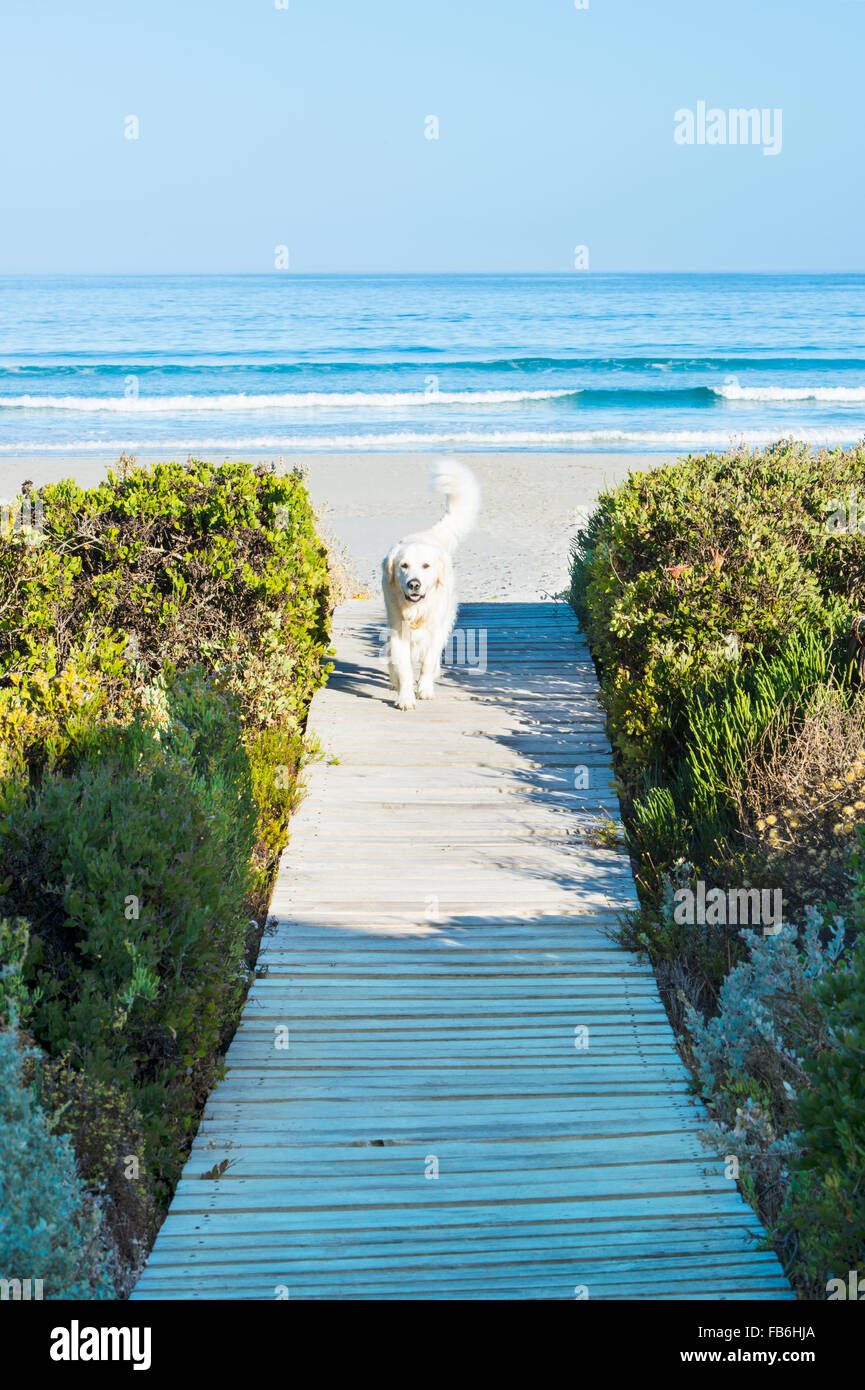 A wooden boardwalk leading to the beach and ocean at Paternoster, Western Cape, South Africa - Stock Image