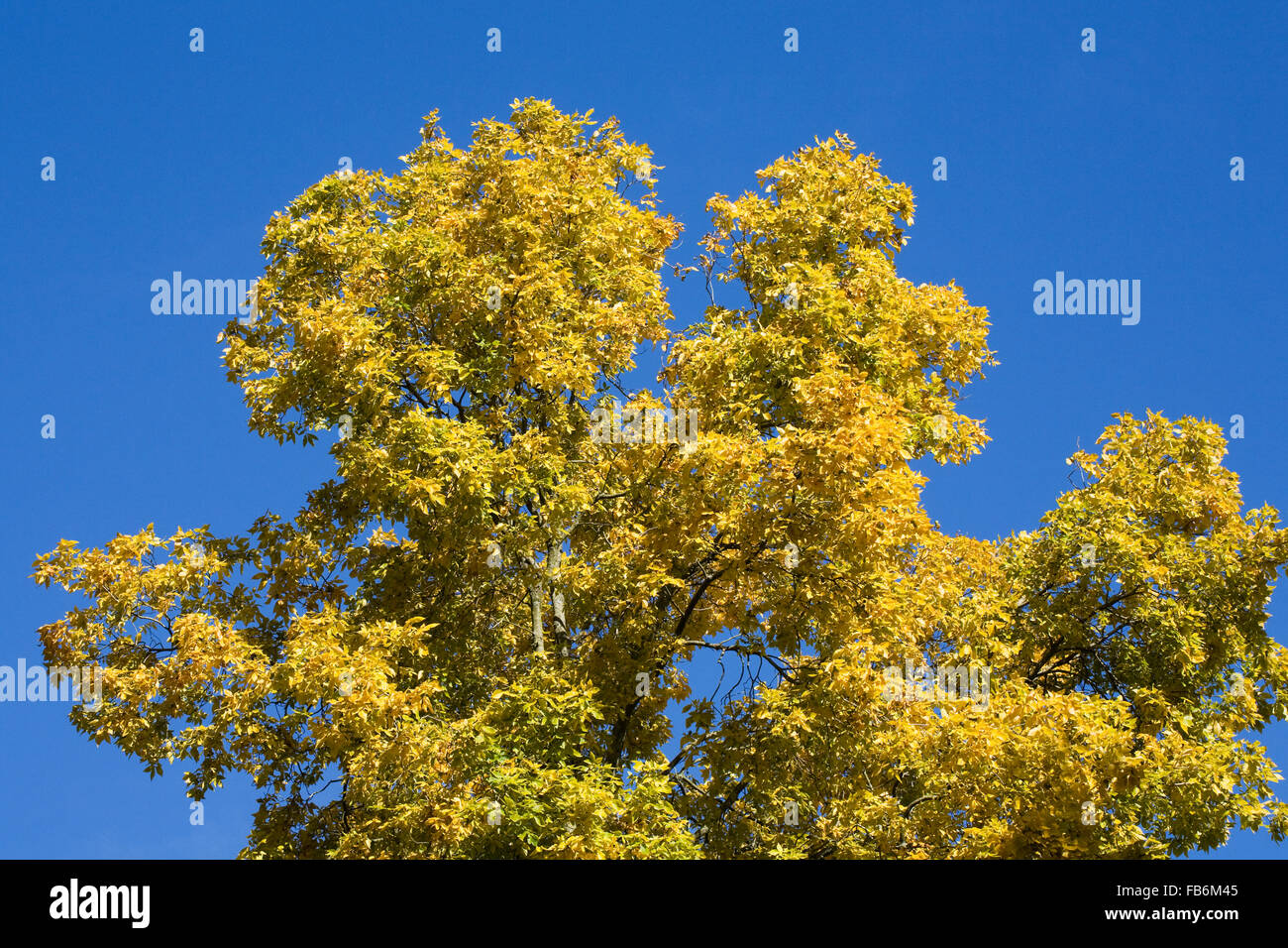 Carya ovata. Autumnal leaves of the Hickory tree against a blue sky. - Stock Image