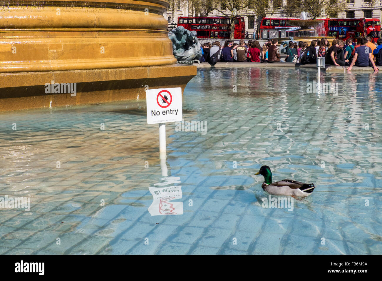 London,Trafalgar Square - duck defies no entry sign in fountain - Stock Image