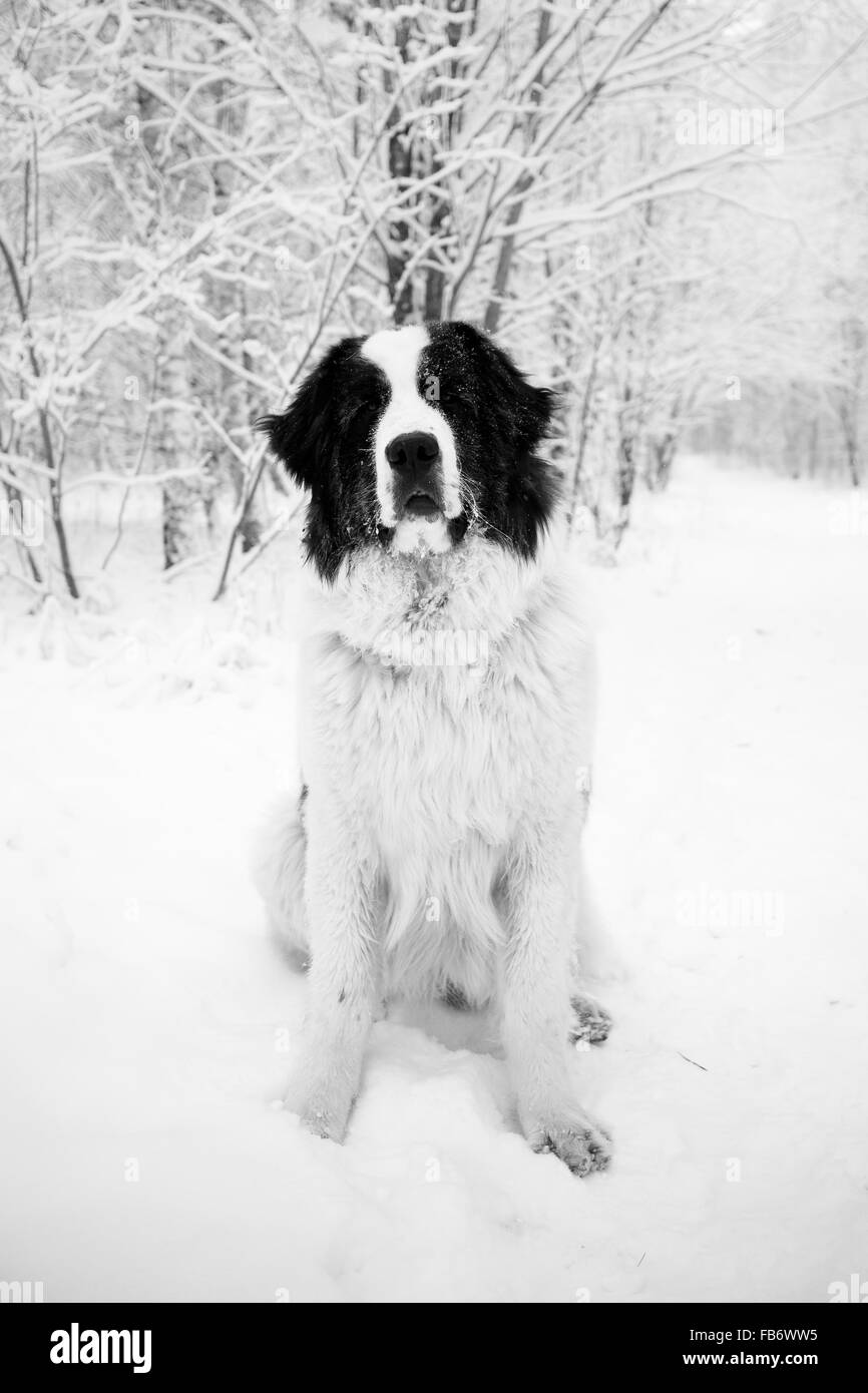 Portrait of sitting landseer dog in winter in black and white - Stock Image