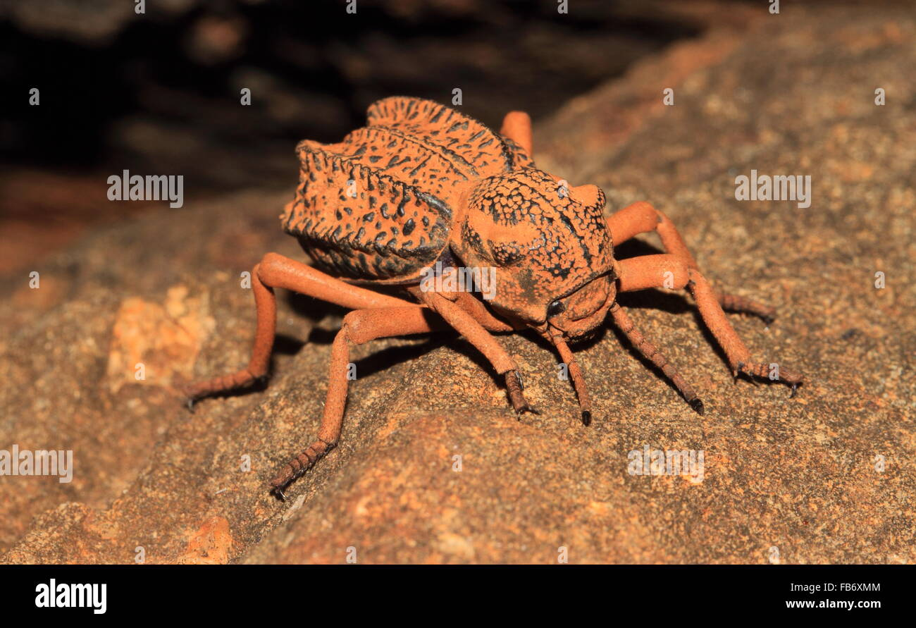 Large beetle seen on an old lava flow called the Yatta Plateau in Kenya - Stock Image