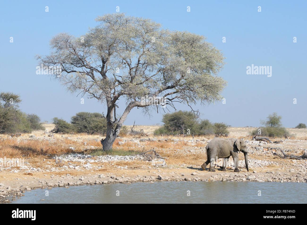 Elephant at Okaukeujo in the Etosha National Park, Namibia - Stock Image