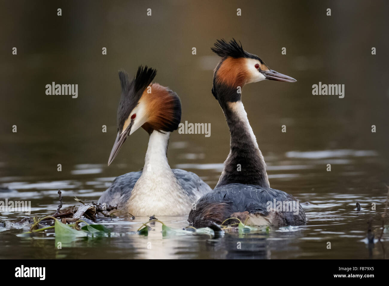 A pair of Great Crested Grebes (Podiceps cristatus) in a courtship display. - Stock Image