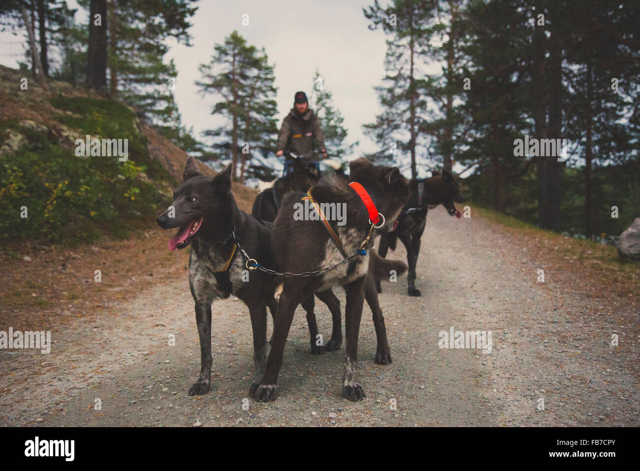 Man with sled dogs on road - Stock Image