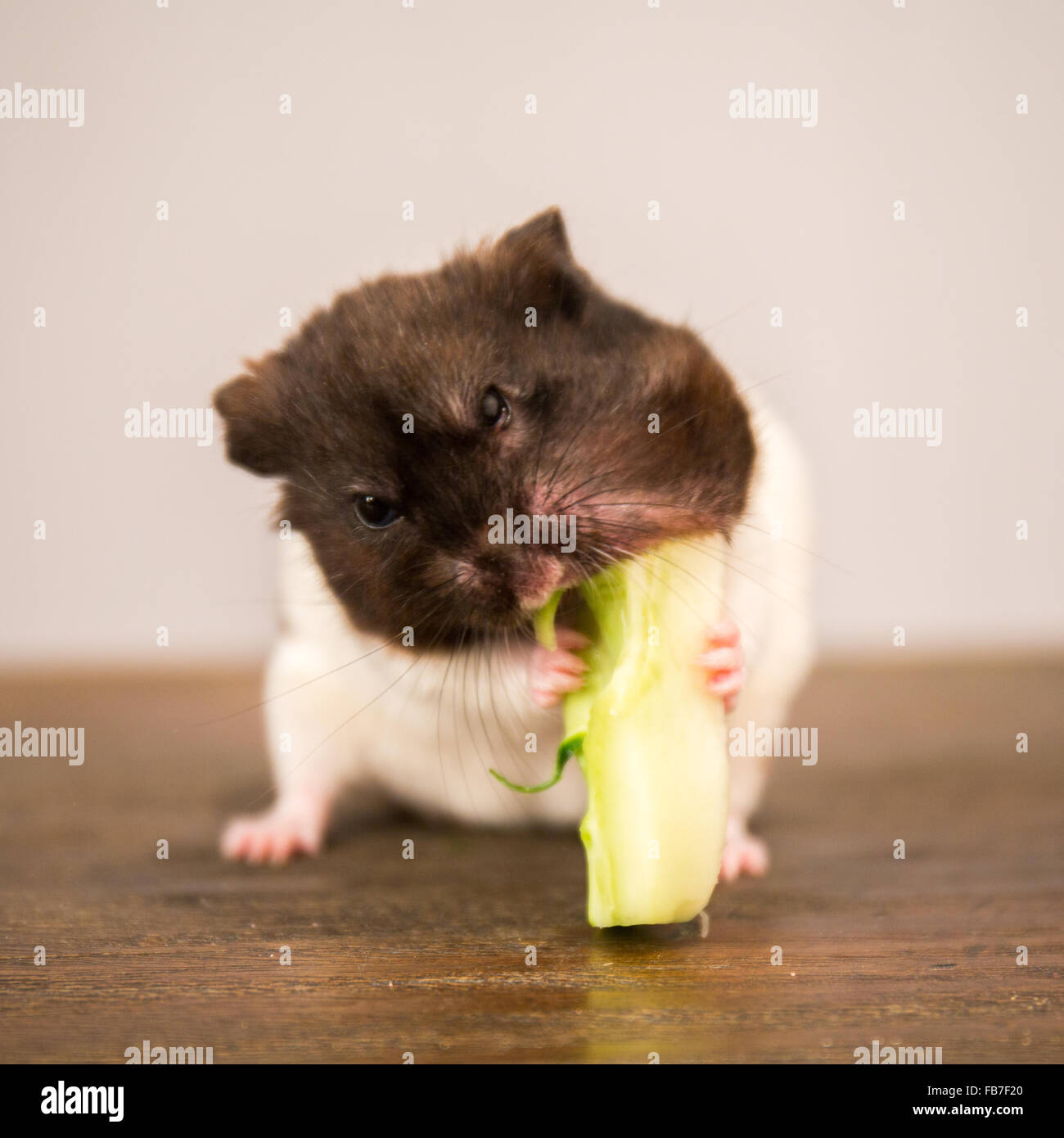 Black And White Syrian Hamster Eating A Broccoli Stem