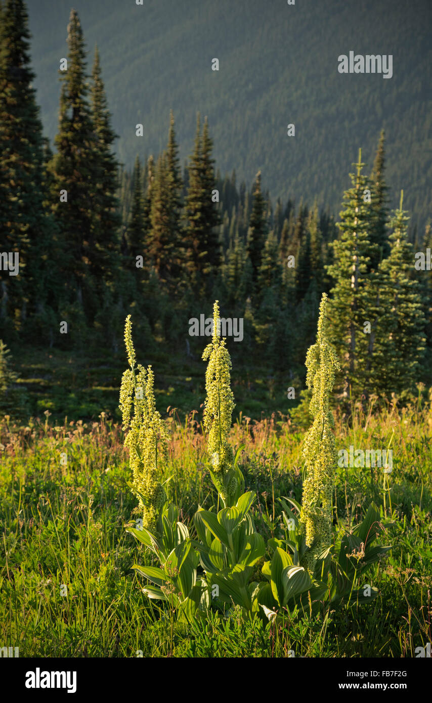 WASHINGTON - Green False Hellebore in the late afternoon light on the summit of Flower Dome in the Glacier Peak - Stock Image