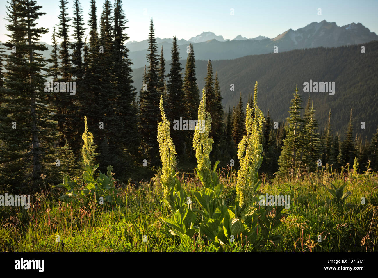 .WASHINGTON - Green False Hellebore in the late afternoon light on the summit of Flower Dome in the Glacier Peak - Stock Image