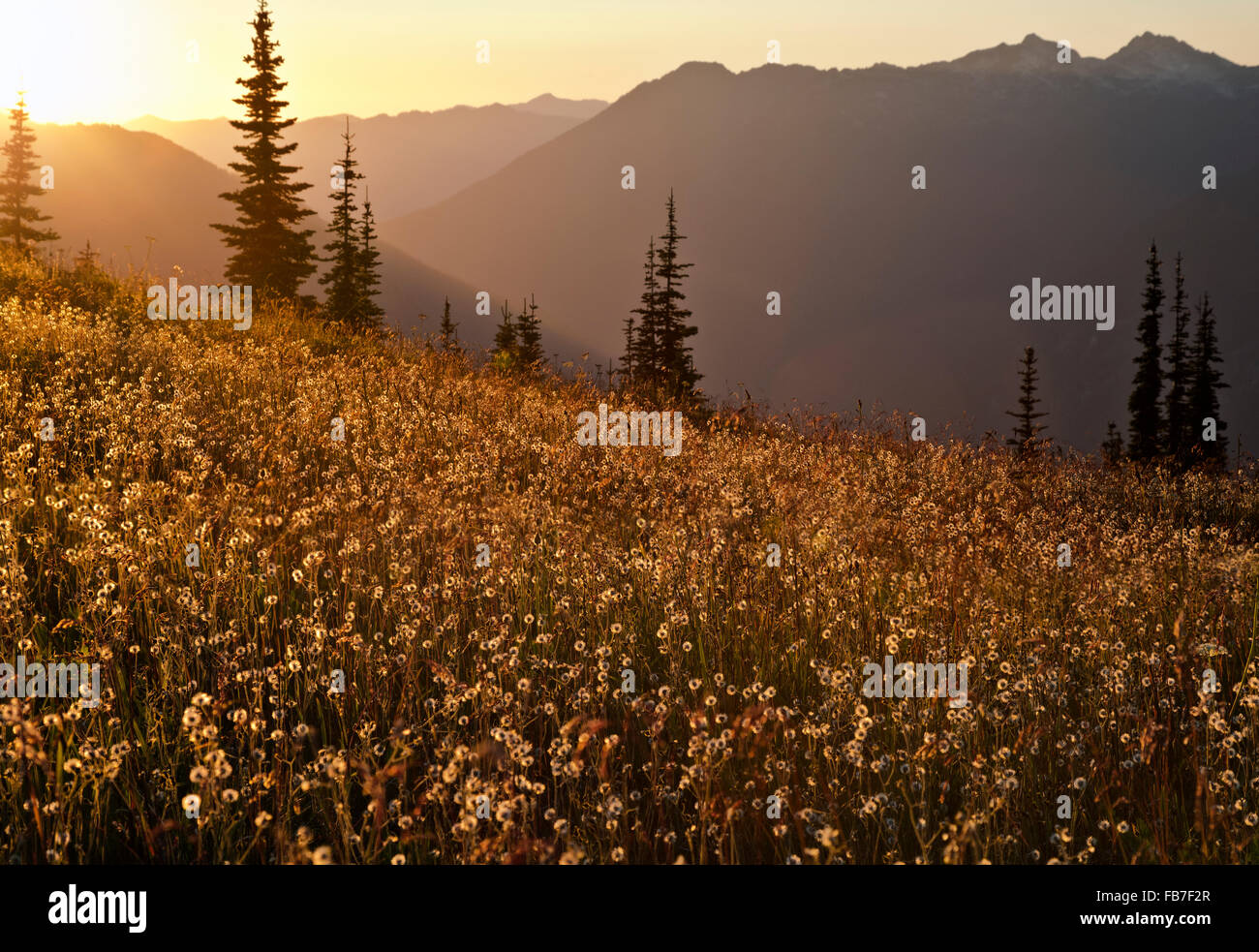 WASHINGTON  - The setting sun lighting up a field of flowers that had gone to seed on Flower Dome in Glacier Peak - Stock Image