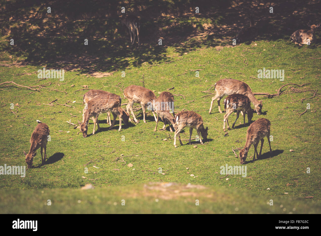A summertime view of a herd of fallow deers (Dama dama) on the green meadow. These mammals belong to the family Cervidae Stock Photo
