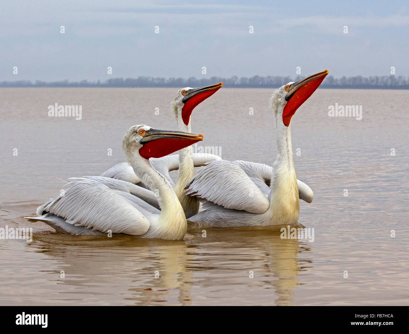 Three dalmatian pelican swimming with beaks raised - Stock Image