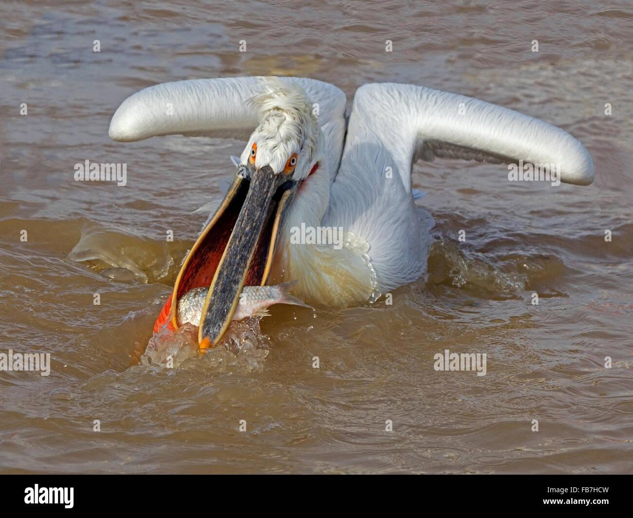 Dalmatian pelican in water with fish - Stock Image