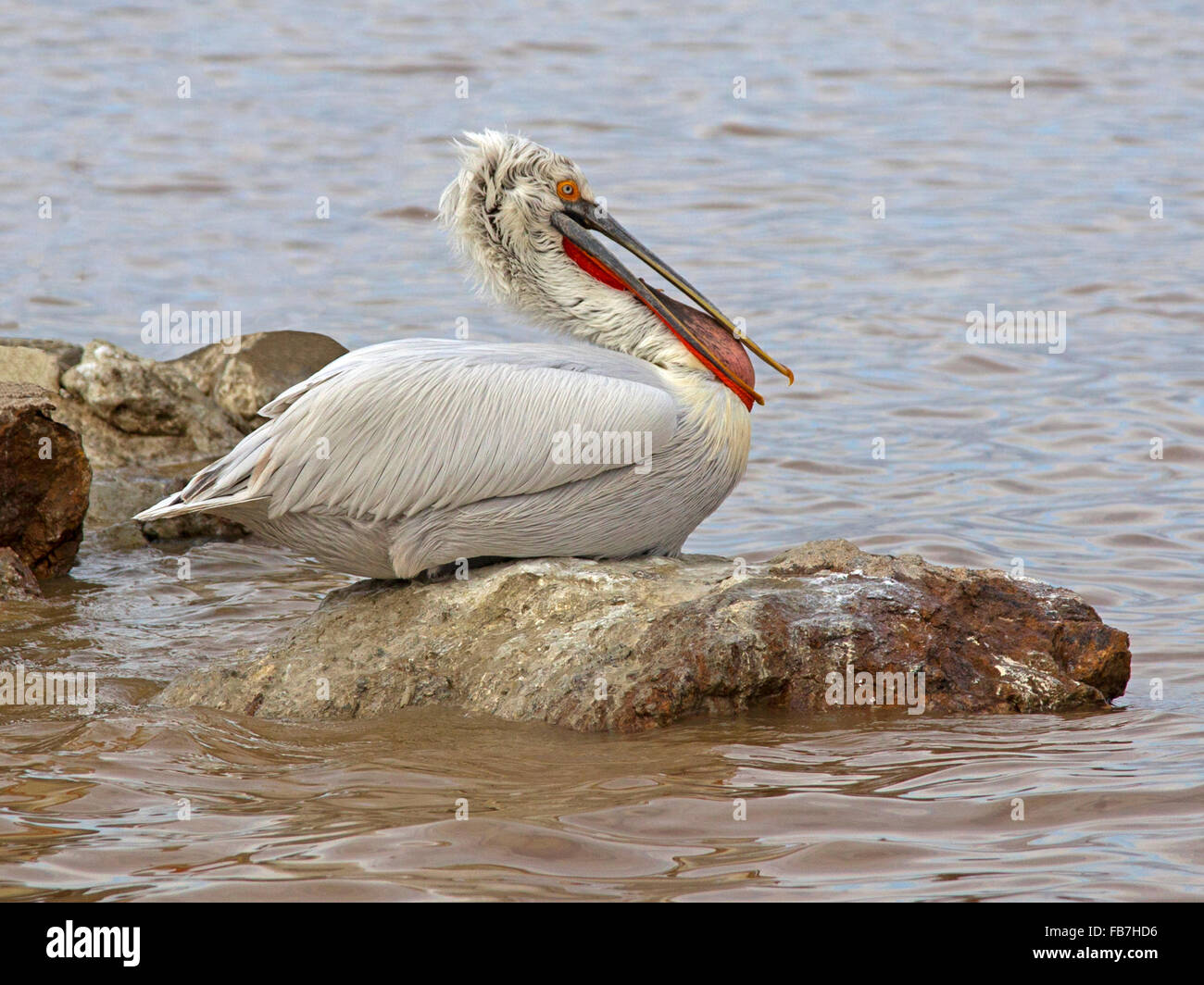 Dalmatian pelican perched on rock with fish - Stock Image