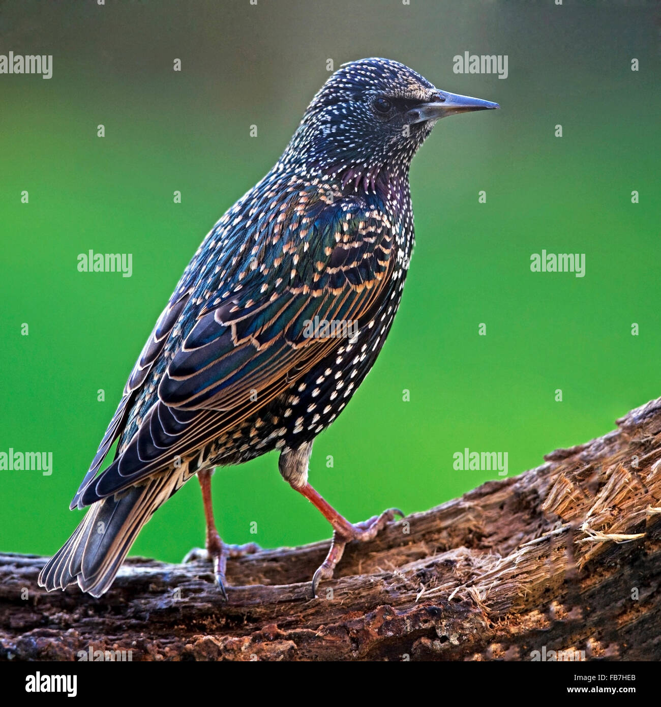 Common starling perched on branch Stock Photo