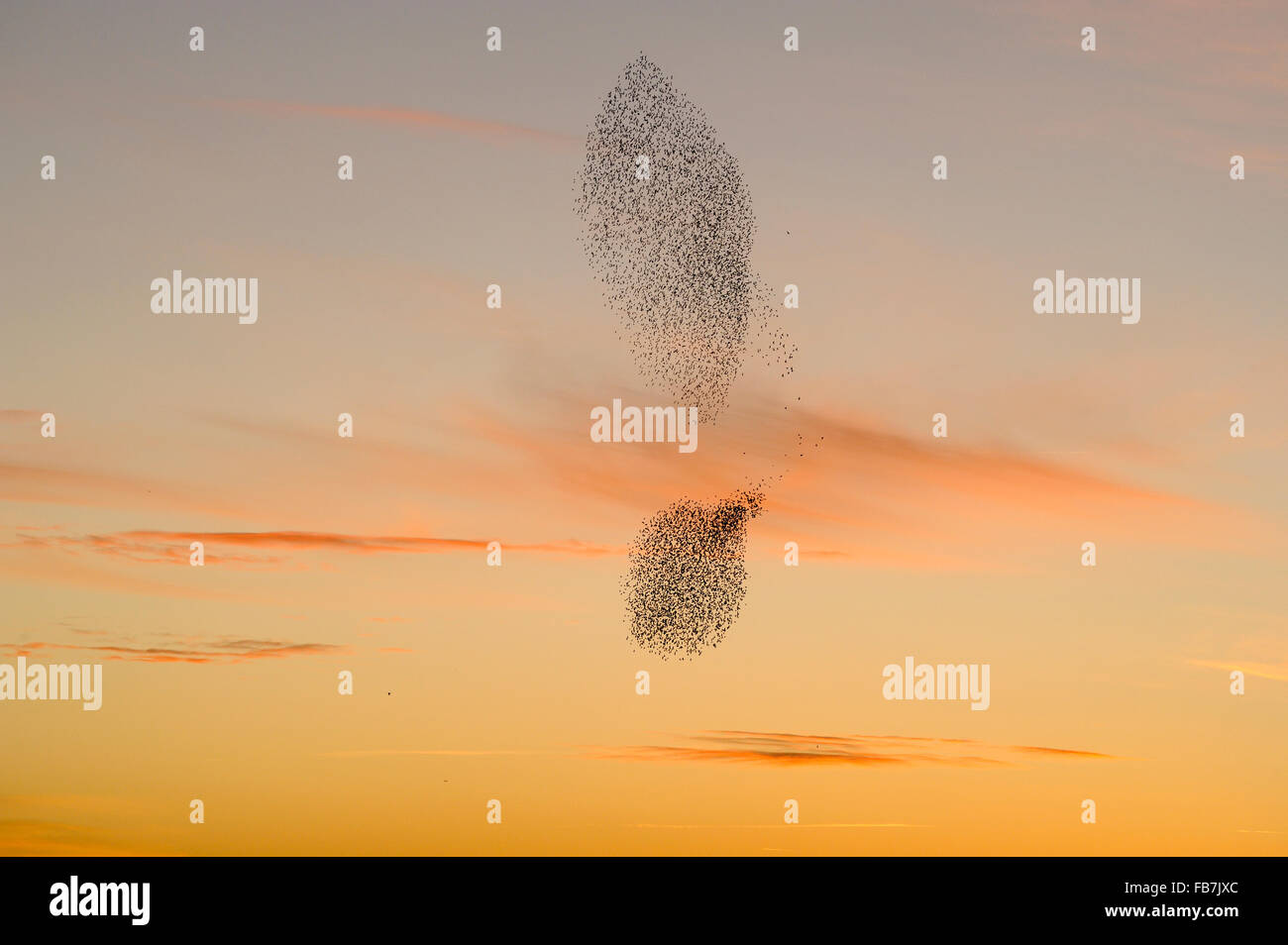 Starling flock (Sturnus vulgaris) at sunset, with peregrine falcon (Falco peregrinus) flying beside the flock, grouping - Stock Image