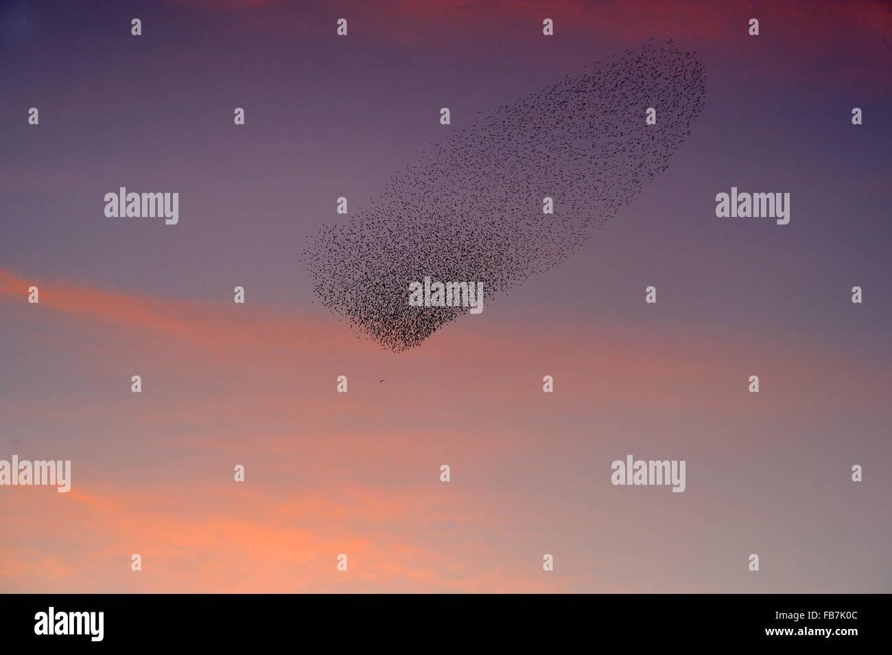 Starling flock (Sturnus vulgaris) at sunset, with Marsh Harrier (Circus aeruginosus) flying below the flock , pink Stock Photo