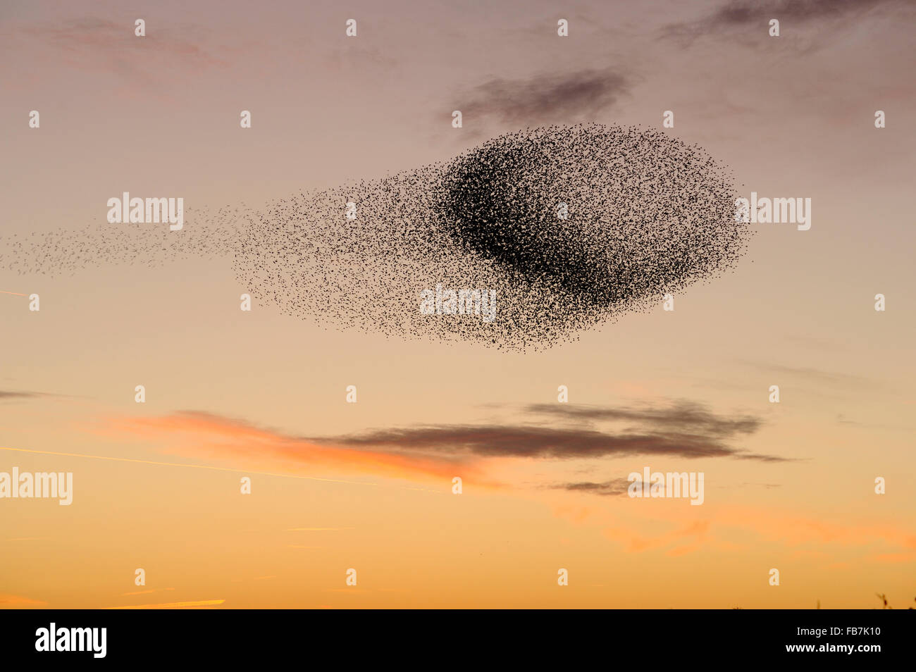 Starling flock (Sturnus vulgaris) at sunset, grouping in the sky caused by presence of predators, with pink sunset - Stock Image