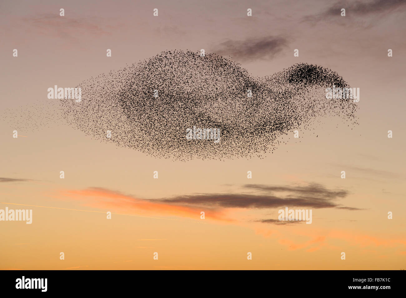 Starling flock (Sturnus vulgaris) at sunset, with peregrine falcon (Falco peregrinus) flying close to the flock. Stock Photo