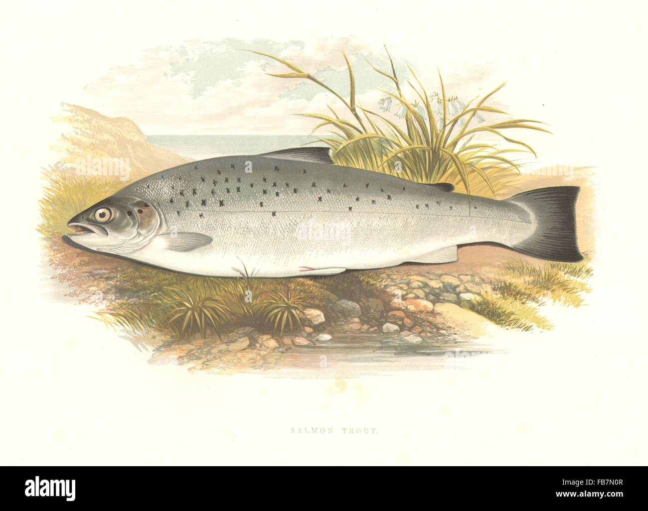 W Pike print from the book freshwater fishes Houghton perfect for framing