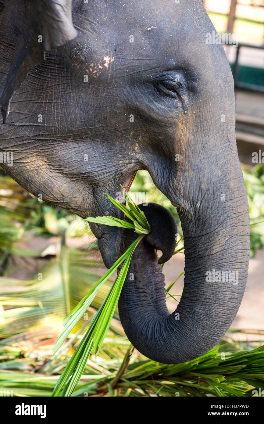 Asian elephants (Elephas maximus) feeding in the Pinnawela Elephants Orphanage, Pinnawela, Sri Lanka Stock Photo