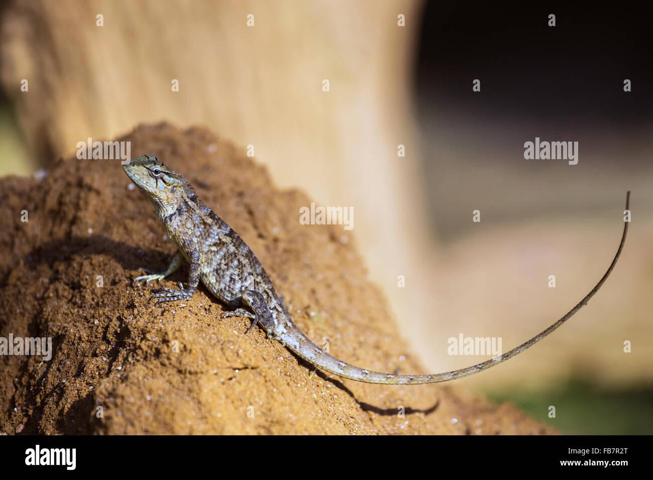 Brown-patched Kangaroo lizard, Wiegmann's Agama, Sri Lankan Kangaroo Lizard (Otocryptis wiegmanni) - Stock Image