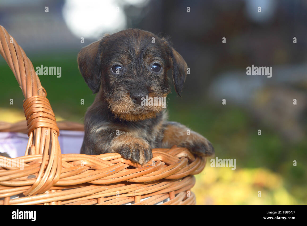 Dachshund (Canis lupus familiaris) puppy sitting in basket, Germany - Stock Image
