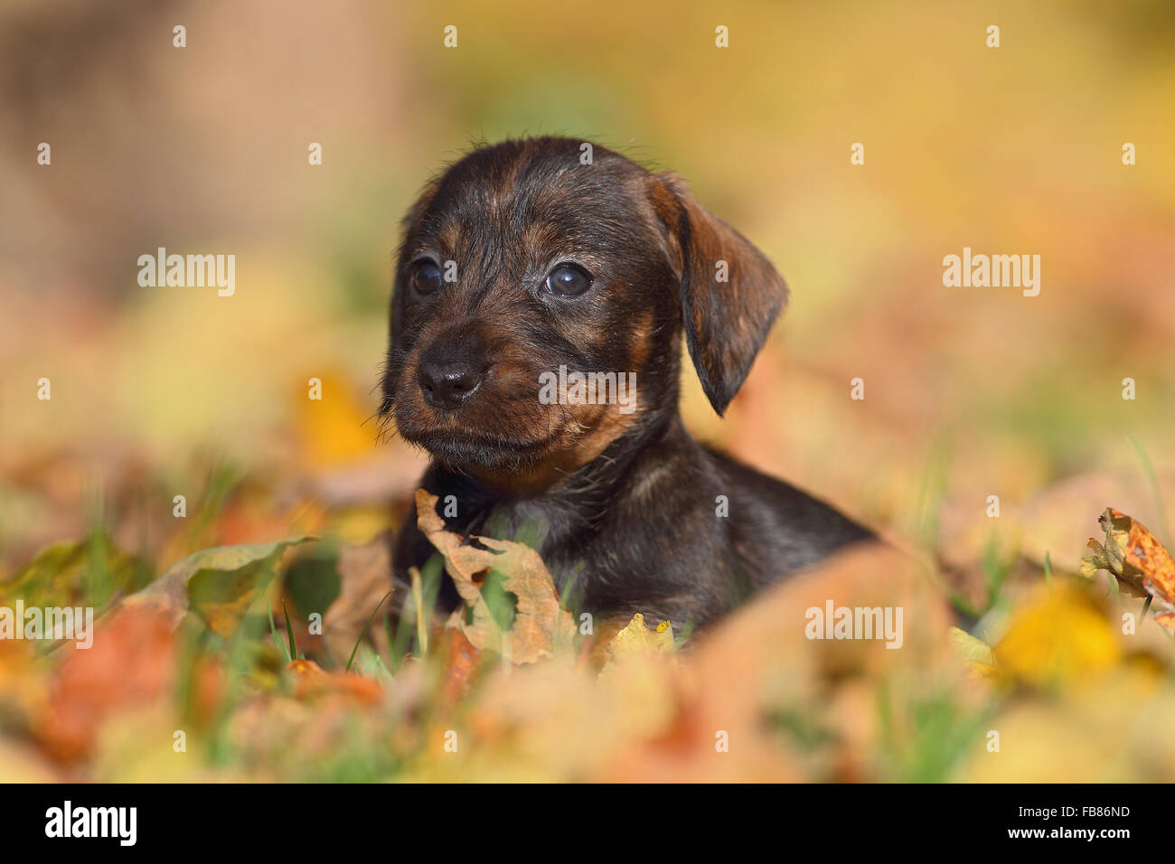 Dachshund (Canis lupus familiaris) puppy lying in Autumn foliage, Germany - Stock Image