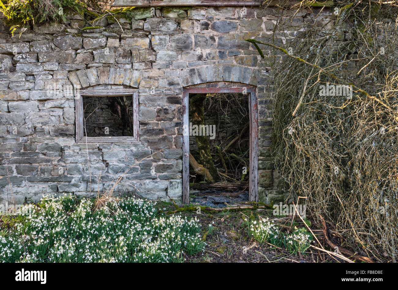 Herefordshire, UK. A remote ruined cottage is surrounded by snowdrops in winter, the remains of its garden - Stock Image