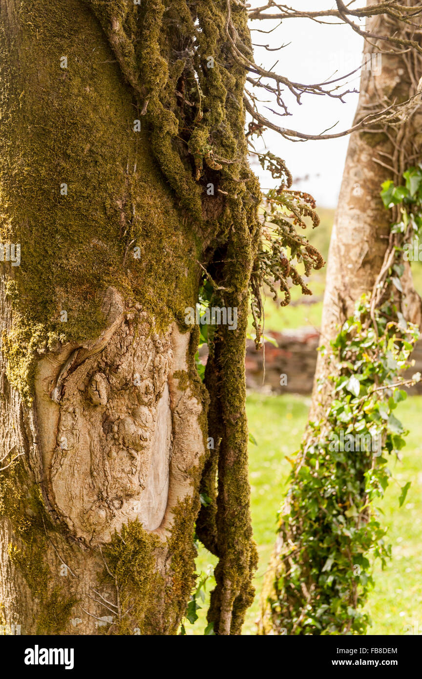 A face in a tree trunk, West Cork, Ireland. Stock Photo