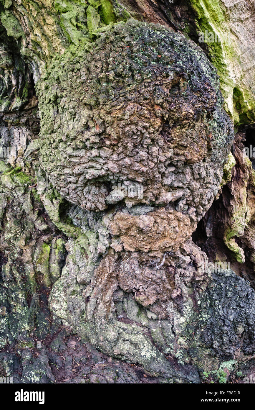 Croft Castle, Herefordshire, UK. A large burr (bur or burl) growing on the trunk of an old sweet chestnut tree (Castanea - Stock Image