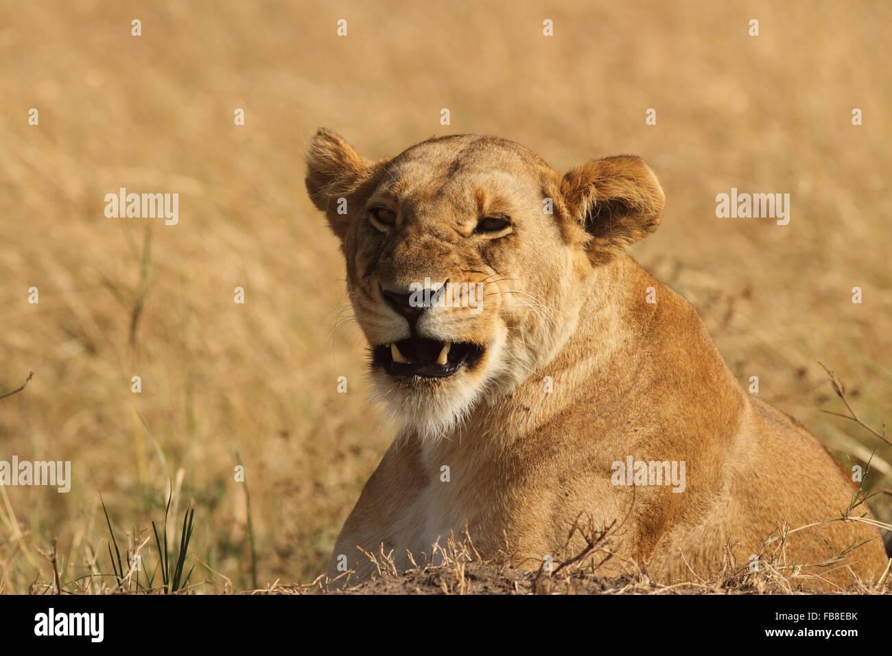 Lion grimacing - Stock Image