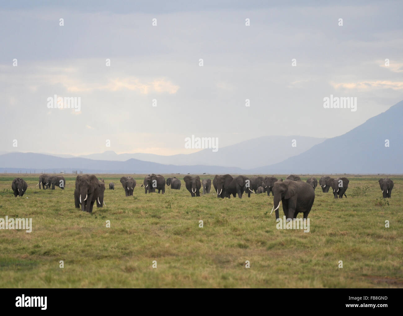 Herd of Elephants Amboseli National Park Kenya - Stock Image
