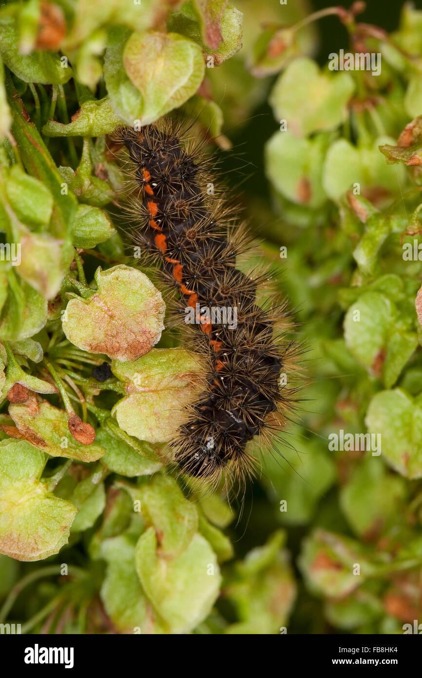Light Knot Grass, caterpillar, Heidemoor-Rindeneule, Fieberklee-Sumpfeule, Raupe, Acronicta menyanthidis, Apatele Stock Photo