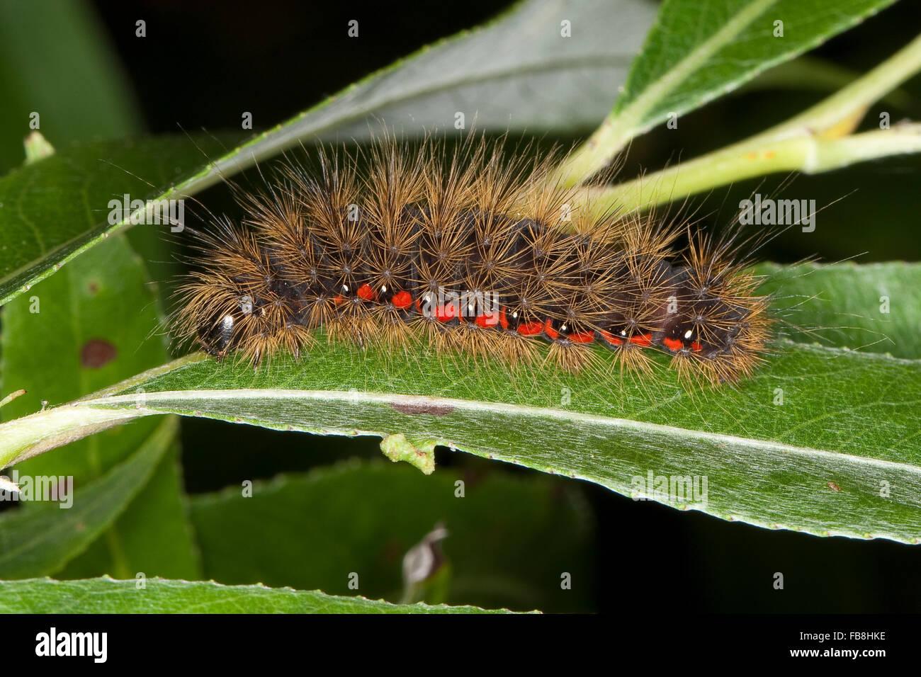 Light Knot Grass, caterpillar, Heidemoor-Rindeneule, Fieberklee-Sumpfeule, Raupe, Acronicta menyanthidis, Apatele menyanthidis Stock Photo