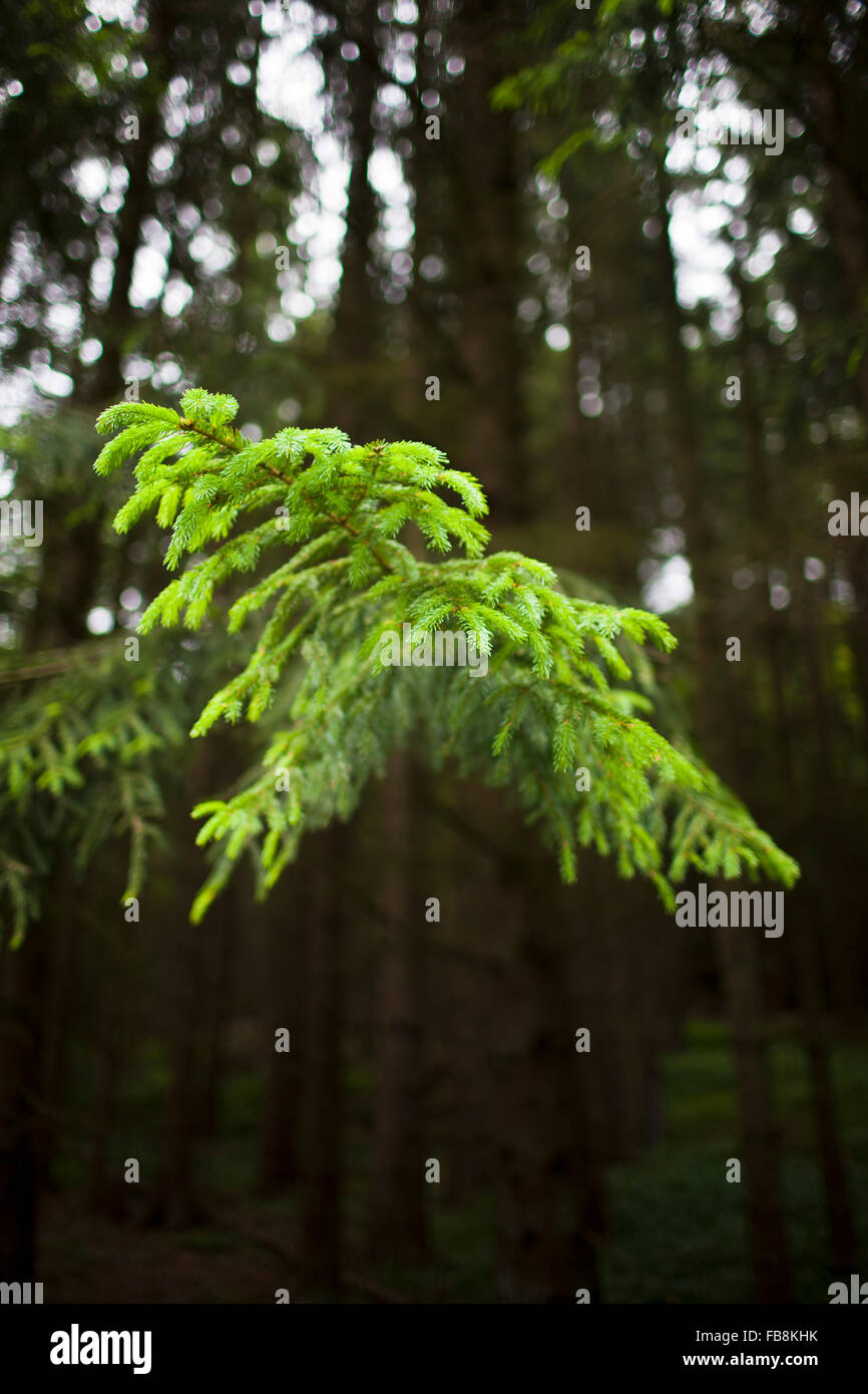 Sweden Ostergotland Omberg View Of Coniferous Tree Branch Stock Photo Alamy