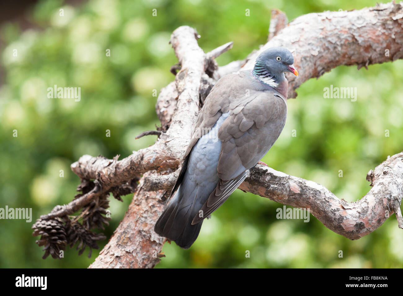 WoodPigeon on a tree in Mediterranean coast, La Selva. Catalonia. © Joan Gosa Badia - Stock Image