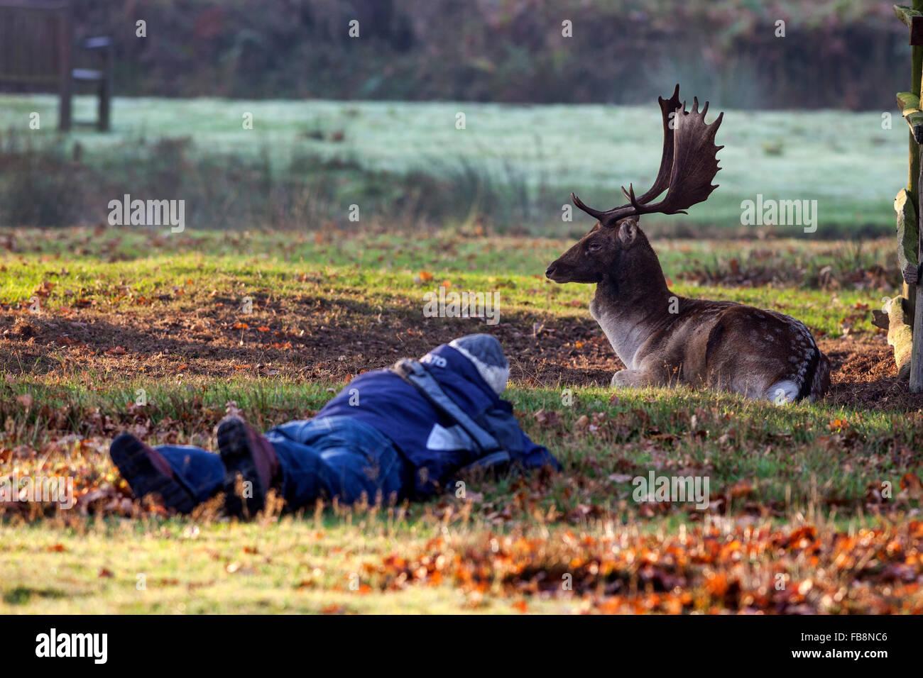 Photographer and Nonchalant Fallow Deer Stag (Dama dama) England UK - Stock Image