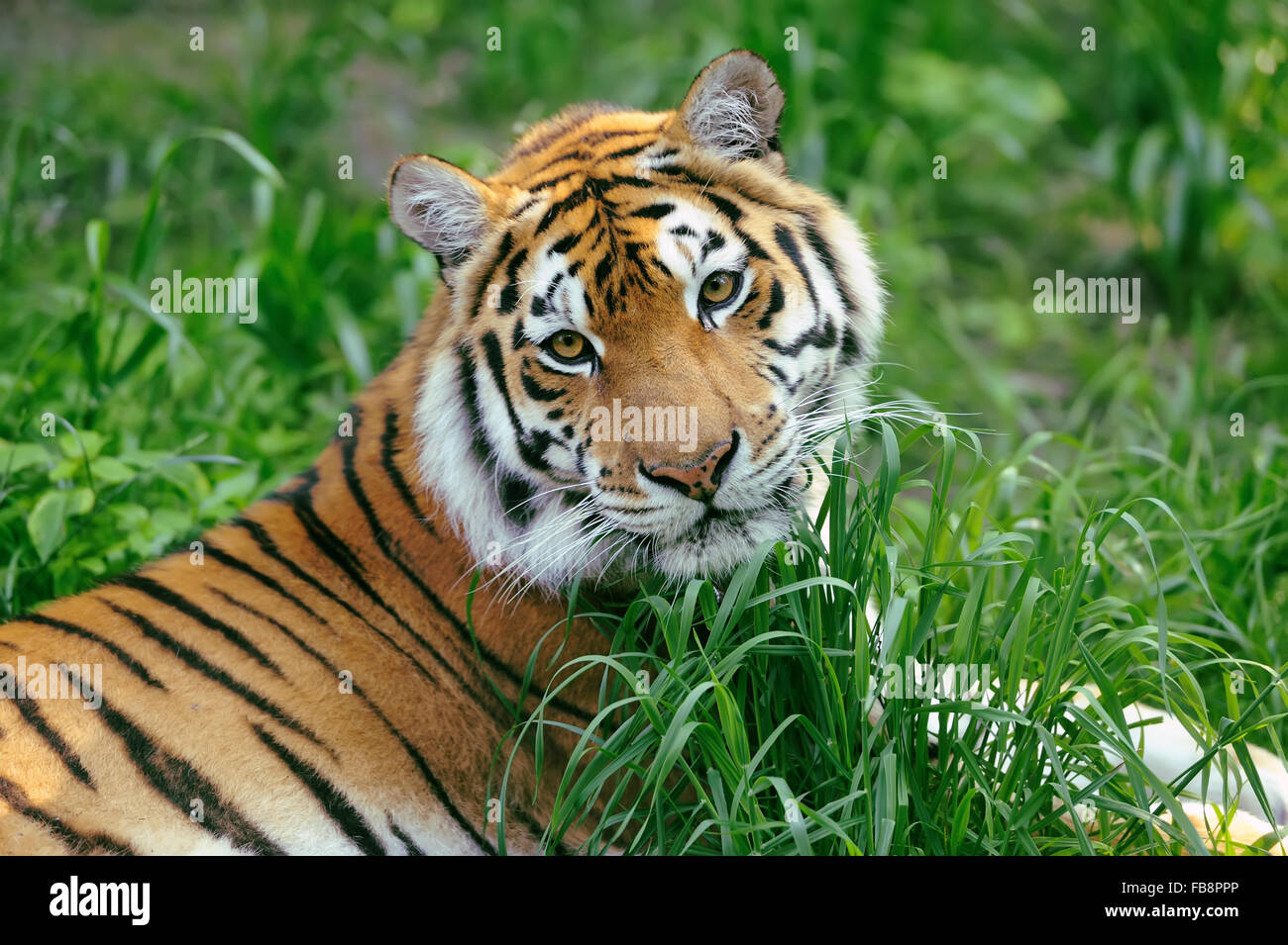 Amur Tigers on a grass in summer day - Stock Image