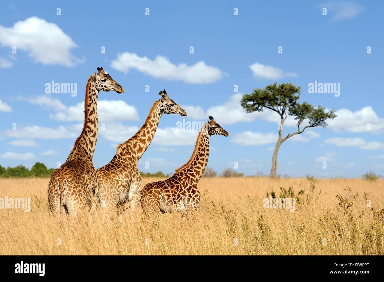 Group giraffe in National park of Kenya, Africa - Stock Image