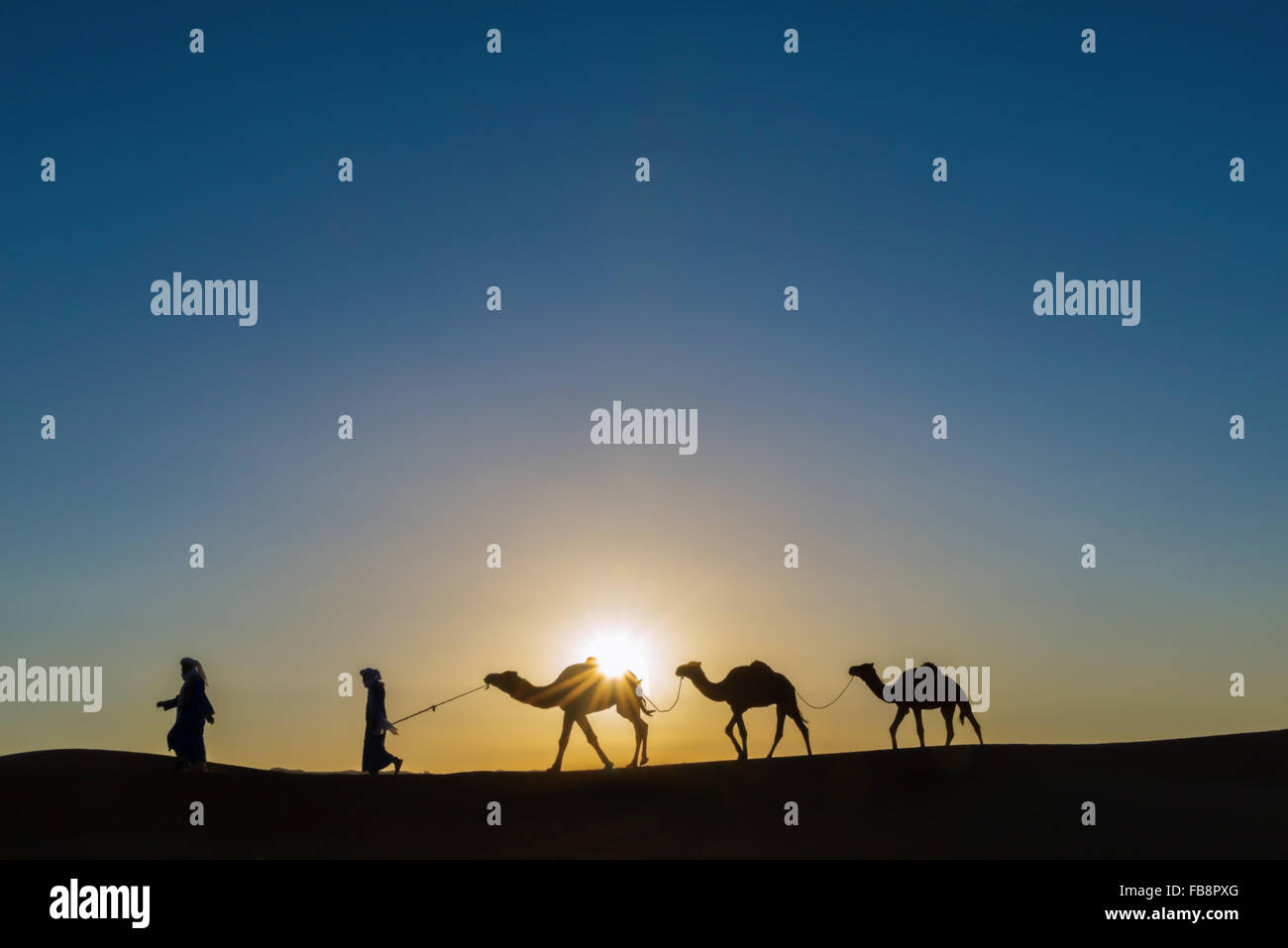 Nomads with dromedaries (camels) at sunrise in the Sahara desert of Morocco. - Stock Image