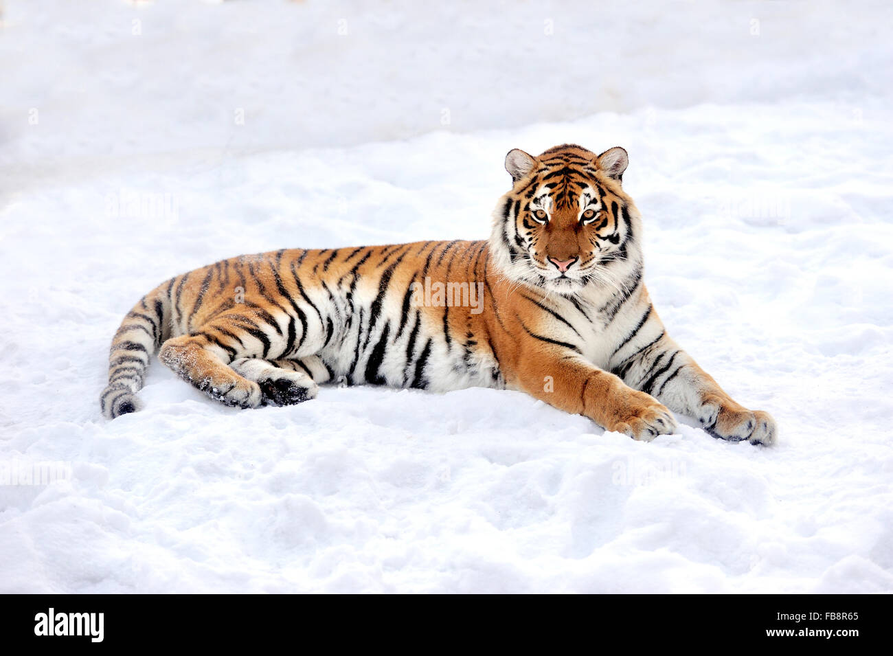 Beautiful wild siberian tiger on snow - Stock Image