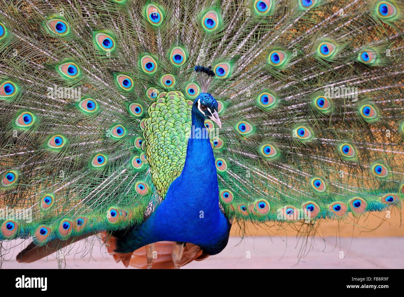 Portrait of peacock posing with feathers out - Stock Image