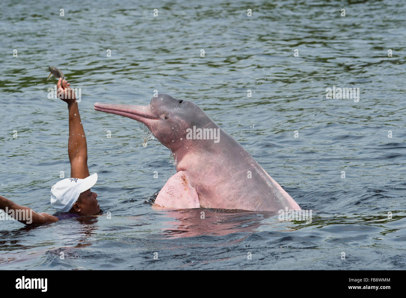 Amazon River Dolphin or Pink Amazon Dolphin (Inia geoffrensis) being fed by local villager, Rio Negro, Manaus, Brazil - Stock Image