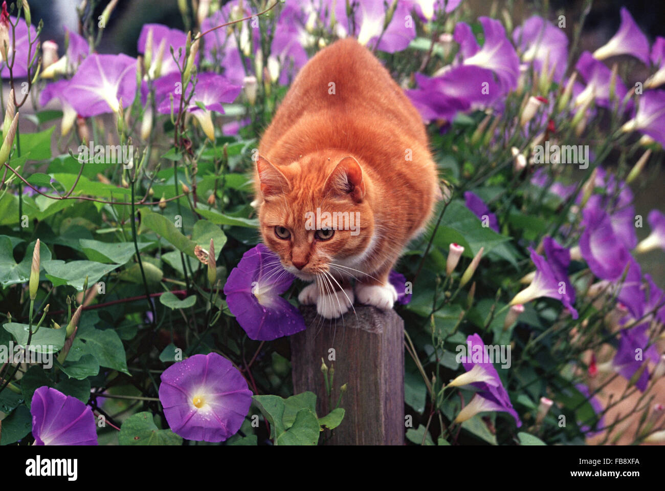 Orange tabby cat crouches on fencepost covered in morning glories - Stock Image