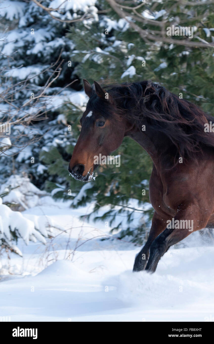 Bay horse galloping through snow - Stock Image