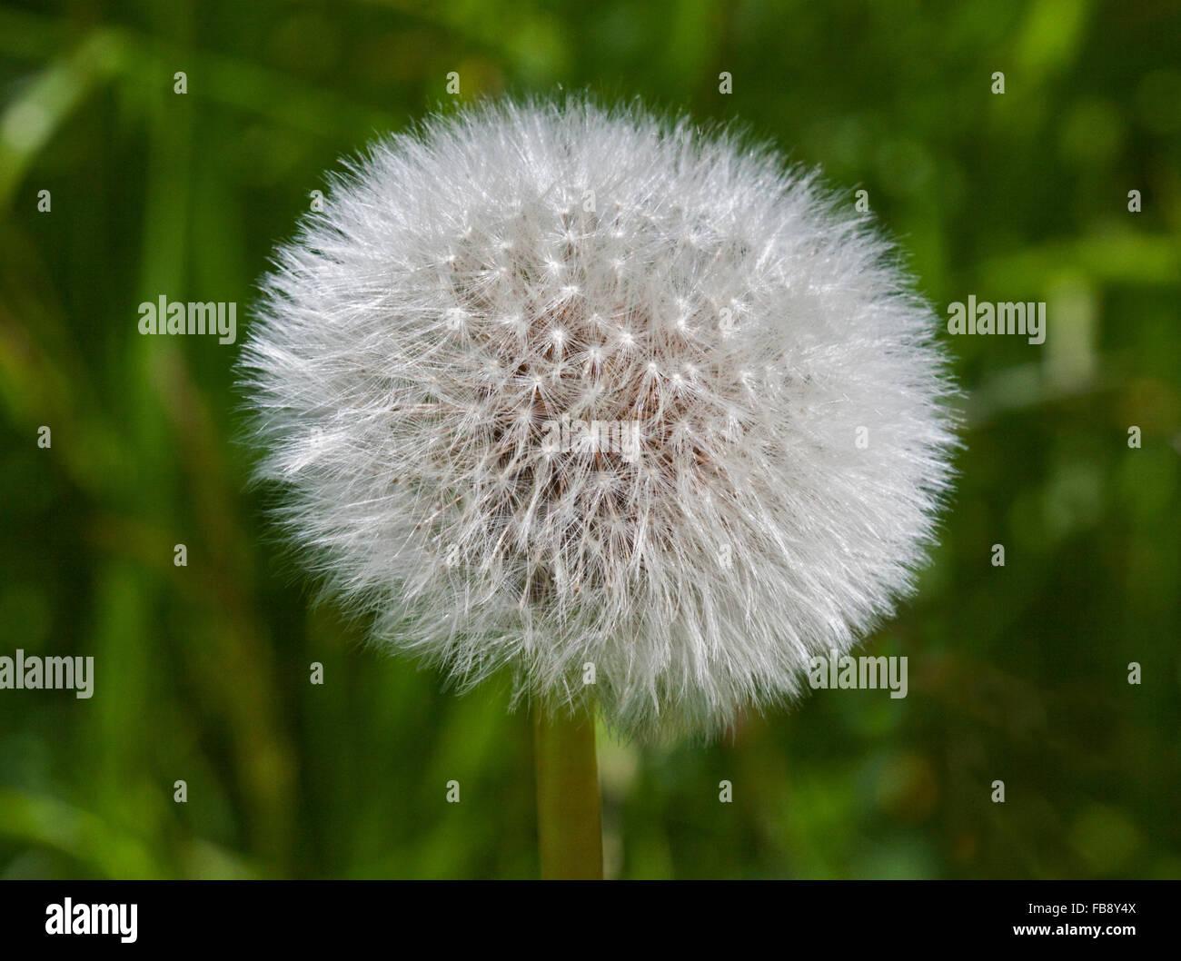 Dandelion Clock or Seedhead - Stock Image