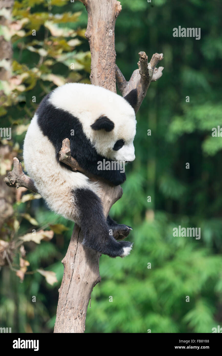 Two years aged young Giant Panda (Ailuropoda melanoleuca) climbing on a tree, China Conservation and Research Centre - Stock Image