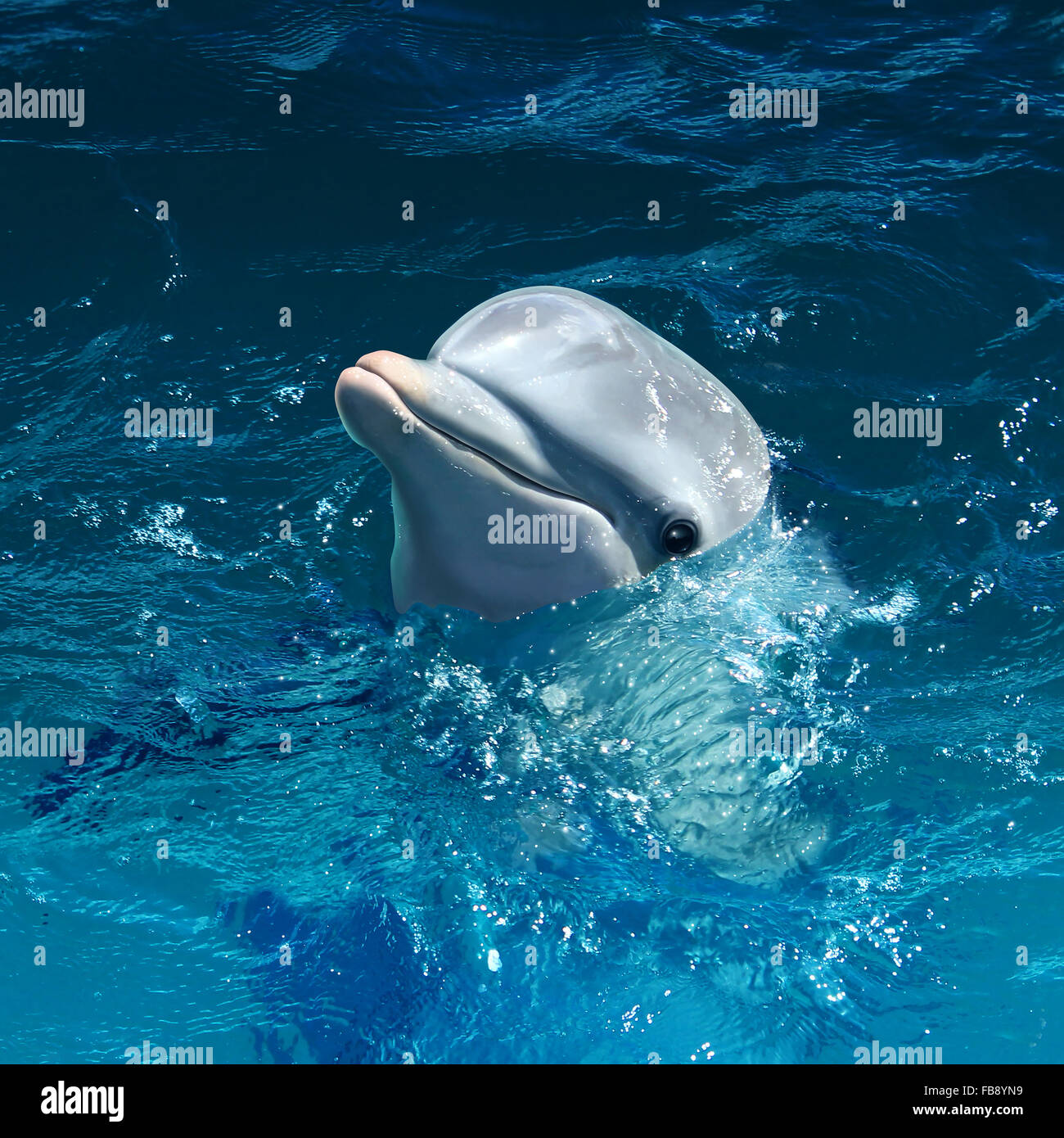 Dolphin head out of water with a cute smile as a marine mammal symbol at sea or swimming in the ocean. - Stock Image